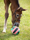 Foal with toy Royalty Free Stock Photo