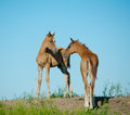 Foals on a hill standing over a blue skies Royalty Free Stock Photos
