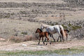 Foals horse steppe white with two brown running in the zone Royalty Free Stock Image