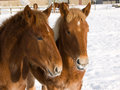 Foals In The Snow Royalty Free Stock Photo