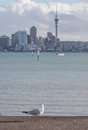 Focus on lone seagull bird with blurred background of Auckland's Royalty Free Stock Photo