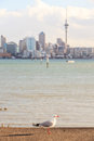 Focus on lone seagull bird with blurred background of Auckland& x27;s Royalty Free Stock Photo