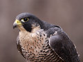 Focused peregrine falcon a falco peregrinus perched on a stump these birds are the fastest animals in the world Royalty Free Stock Images
