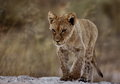 Focussed lion cub walking in the road Stock Image