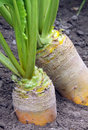 Fodder beet growing Royalty Free Stock Photography