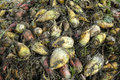 Fodder beet Royalty Free Stock Photo