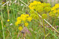 Foeniculum vulgare detail of a Stock Photography