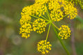 Foeniculum vulgare detail of a Royalty Free Stock Photo
