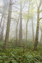 Foggy forest an atmospheric look at a pacific northwest during a morning firs trees and ferns are the predominate flora in the Royalty Free Stock Photography