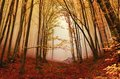 Foggy forest in autumn warm colored a morning Stock Image