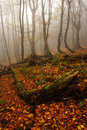 Foggy forest in Giant mountains Royalty Free Stock Photo