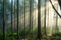 Foggy forest light from right second growth draped in fog sunlight beaming through upper Royalty Free Stock Photo