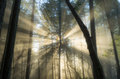 Foggy forest light second growth draped in fog sunlight beaming through Stock Image