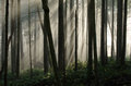 Foggy forest second growth draped in fog Royalty Free Stock Photos