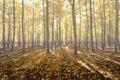 Brumoso gingko bosque