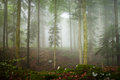 Foggy morning forest magic and spruce maple and beech Royalty Free Stock Photos