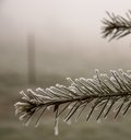 On a foggy morning an icy fir branch frames the picture with an old fence post blurred in the background Royalty Free Stock Photos
