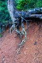 Exposed Lichen Covered Pine Tree Roots, Greek Mountains Royalty Free Stock Photo
