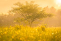 Foggy morning sunny landscape with tree Royalty Free Stock Photo