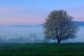 Foggy summer morning in the mountains. Blooming tree on the hill with fog. Tree from Sumava mountain, Czech Republic. Fog in the l Royalty Free Stock Photo