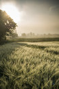 Foggy sunrise in the wheat field fresh meadow Royalty Free Stock Photos