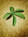 Foglia verde su una superficie del sughero Fotografia Stock Libera da Diritti