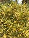 Folhas do croton Foto de Stock Royalty Free