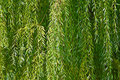Foliage background Royalty Free Stock Image