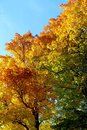 Foliage golden orange green in the fall Royalty Free Stock Photo