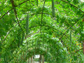 Foliage Tunnel of the Luffa Plants at the Botanical Garden Royalty Free Stock Photo