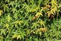 Folige of Acer Palmatum or Japanese maple shrub Royalty Free Stock Photo