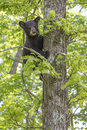 Follow the leader black bear cub up in a tree in springtime Stock Photo