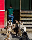 Follow the leader goats and people a line of hungry their caretaker as she goes to get their dinner Stock Photo