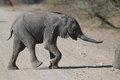 Following mom a small african elephant his mother Stock Image