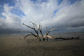 Folly Beach Charleston SC Dead Tree Resilience Royalty Free Stock Photo