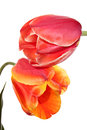 Fondness tulips pink and red yellow flowers on a white background Royalty Free Stock Photos