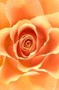 Fondo de la macro de Rose Foto de archivo