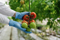 Food scientist showing tomatoes in greenhouse Royalty Free Stock Photo