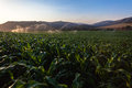 Food security maize crop water sprinklers farm getting from at sunset stable Stock Images