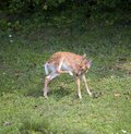 Foot inspection whitetail deer fawn that is looking at its rear Royalty Free Stock Photo