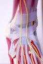 Foot medical anatomy model