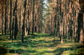 Foot path through dense forest bypath with high trees Royalty Free Stock Photography