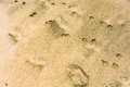 Foot and paw prints on a tropical beach impressions made in the sand at lower bay in the windward islands Stock Photography