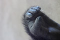 Foot of Western Lowland Gorilla Royalty Free Stock Photo