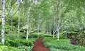 Footpath Through Birch Forest Royalty Free Stock Image