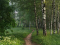 Footpath in a birchwood Royalty Free Stock Image