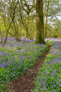 Footpath through bluebell woodland a leading a with a carpet of spring bluebells Royalty Free Stock Images