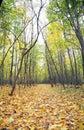 Footpath in fallen down leaves in wood Royalty Free Stock Photo