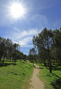 Footpath in the pine park. Sun in the sky.