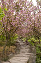 Footpath under cherry blossom Stock Photography